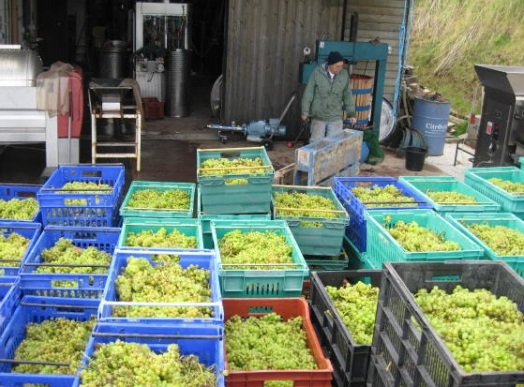 Devon vineyards wines Pebblebed harvest