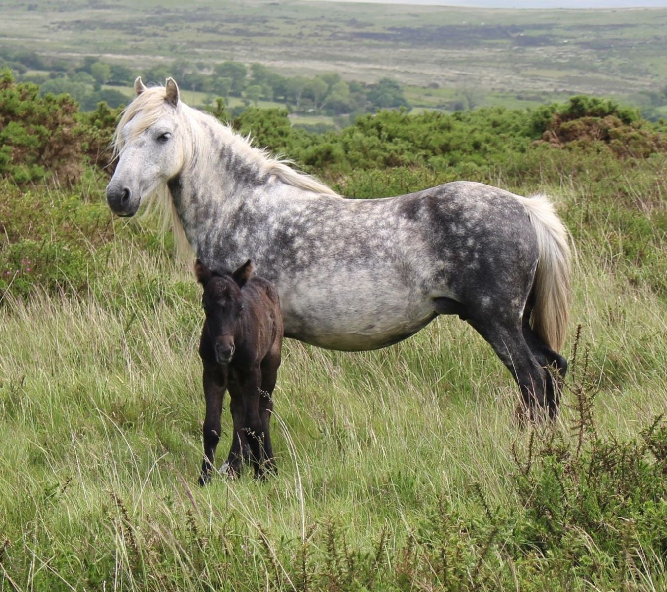 ponies on dartmoor 8