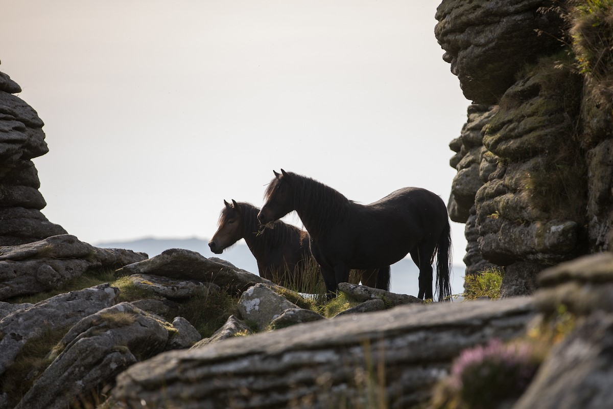 ponies on dartmoor 9e