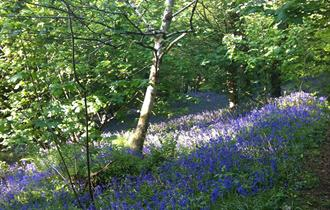 Celebrate Bluebell Day at Fursdon Gardens and Tea Rooms