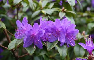 RHS National Rhododendron Show